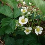 swtich aardbei bloem-vrucht 24-8 foto 2